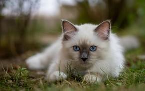 Picture grass, look, muzzle, kitty, blue eyes, bokeh, Burmese