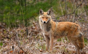 Picture grass, look, face, branches, nature, wolf, portrait, coyote