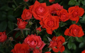 Picture leaves, flowers, the dark background, bright, roses, garden, red, buds, a lot, roses, rose Bush