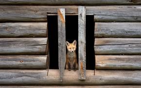 Picture look, house, Board, hole, baby, window, Fox, sitting, hut, logs, frame, Fox, Fox