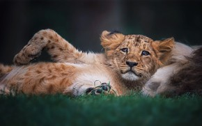 Picture look, pose, background, Leo, baby, lies, lion, lion
