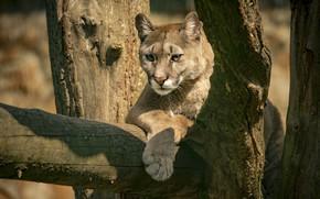 Picture look, face, light, tree, portrait, log, Puma