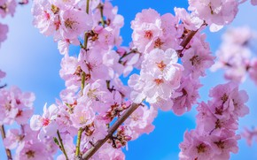 Picture the sky, blue, spring, Sakura, flowering, blossom, macro, sakura, cherry, spring, japanese