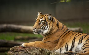 Picture tiger, background, stay, lies, profile, log, bokeh