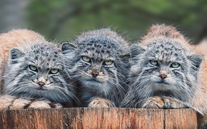 Picture look, cats, stump, portrait, three, wild cats, trio, muzzle, manul, harsh, Trinity, sullenly, the salvation