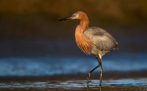 Picture water, nature, bird, Heron, bokeh, Reddish Egret