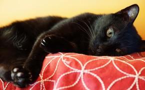 Picture cat, cat, look, face, black, paws, lies
