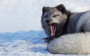 Picture winter, snow, grey, mouth, lies, yawns, Fox