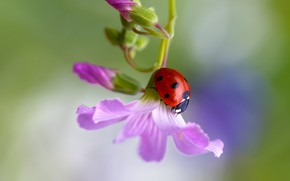 Picture macro, flowers, background, ladybug, beetle, insect