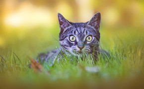Picture cat, grass, cat, look, face, nature, grey, background, portrait, striped
