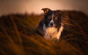 Picture field, grass, look, nature, background, dog, the evening, the border collie