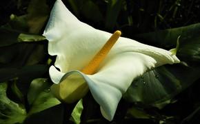 Picture white, flower, the dark background, Calla