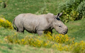 Picture summer, flowers, nature, background, yellow, baby, Rhino, cub