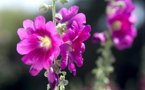 Picture nature, petals, mallow