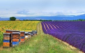Picture field, sunflowers, France, lavender, Provence, hives