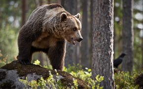 Picture forest, trees, nature, pose, animal, trunks, stone, predator, bear, brown, Alexander Perov