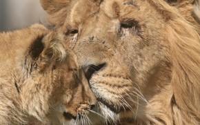 Picture love, Leo, lioness
