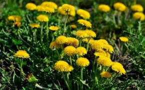 Picture flowers, nature, spring, meadow, dandelions