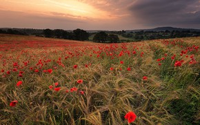 Picture field, landscape, nature, Maki, beauty, meadow
