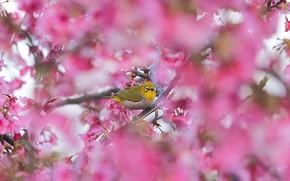 Picture branches, bird, spring, Sakura, flowering, bokeh, Japanese white-eye