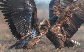 Picture birds, nature, wings, predators, pair, the scope, white-tailed eagle, Michalak Arkadiusz