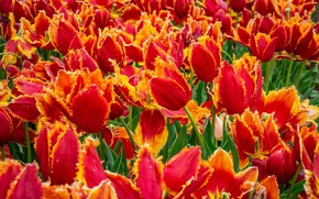 Picture field, flowers, spring, tulips, red, orange, buds, a lot, field of tulips, plantation, fire, Tulip …
