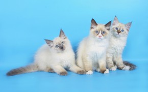 Picture background, blue, kittens