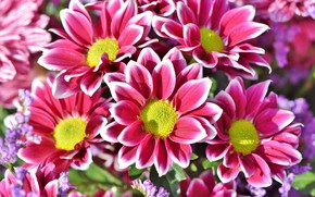 Picture white, flowers, pink, Chrysanthemum