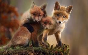 Picture animal, kids, Fox