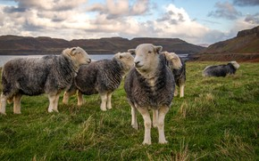 Picture field, look, face, sheep, pasture, sheep, the herd, sheep, flock, grazing, sheep