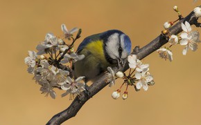 Picture flowers, background, bird, branch, spring, flowering, tit, spring
