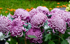 Picture flowers, flowerbed, chrysanthemum, a lot, lilac, lush