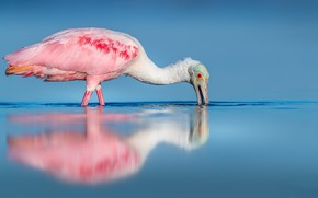 Picture nature, bird, Roseate spoonbill