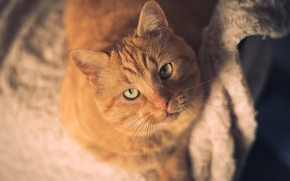 Picture cat, cat, face, pose, background, portrait, chair, red, chair, fabric, sitting, the view from the ...