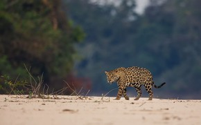 Picture sand, trees, nature, Jaguar, walk