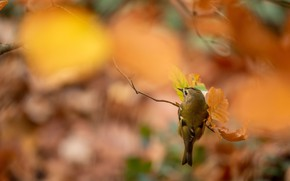 Picture autumn, leaves, bird, blur, branch, orange background, bokeh, a woodland songster