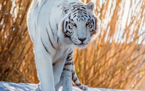 Picture white, tiger, handsome