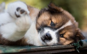 Picture look, face, close-up, pose, portrait, dog, paws, cute, puppy, lies