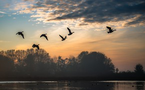 Picture landscape, birds, nature, pack, pond, geese, fly