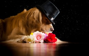 Picture face, flowers, roses, hat, red, lies, black background, Golden, on the floor, Retriever