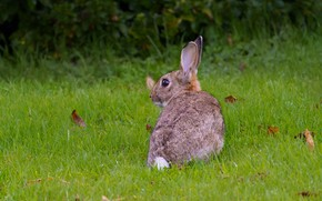 Picture grass, glade, hare, rabbit