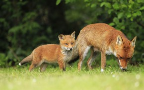 Picture summer, grass, nature, glade, foliage, baby, Fox, walk, cub, mom, the bushes, Fox, Fox, two …