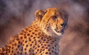Picture look, face, background, portrait, wild cat, Cheetah