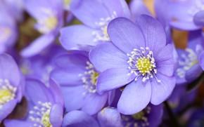 Picture macro, spring, petals, The coppice, Pechenocna