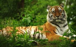 Picture greens, tiger, lies, bokeh