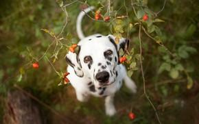 Picture look, face, leaves, branches, portrait, dog, fruit, briar, puppy, Dalmatians, view