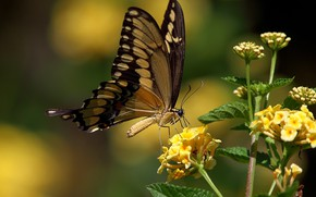Picture butterfly, yellow flowers, swallowtail