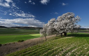 Picture field, blue, tree, spring, flowering