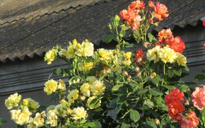 Picture Flowers, The bushes, Yellow, Roses, Orange, Meduzanol ©, Summer 2018