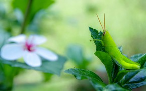 Picture flower, leaves, macro, green, background, insect, grasshopper